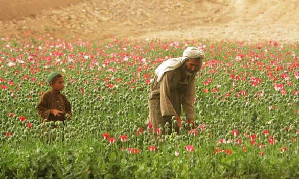 afghan-poppies